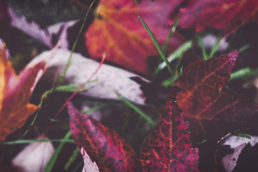 Närbild av röda höstlöv på marken.